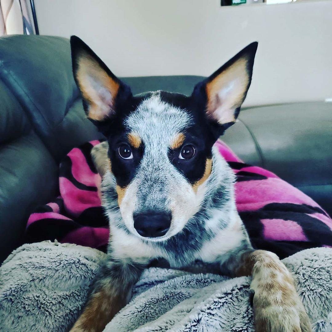 #blueheeler #puppy #dogsofinstagram