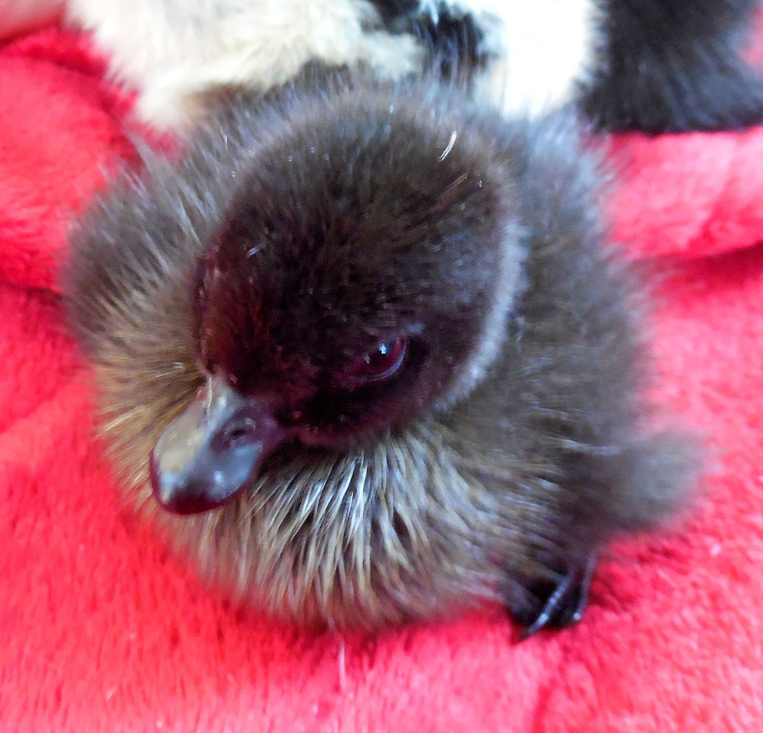 black east indie duckling darling ducks pinterest indie