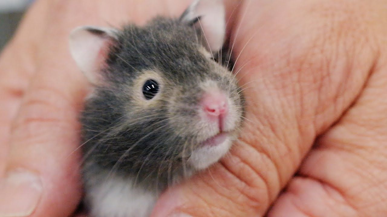 8 Things Your New Hamster Is Trying To Tell You New Pet Tips By Petco Cute Hamsters Hamsters Video Hamster