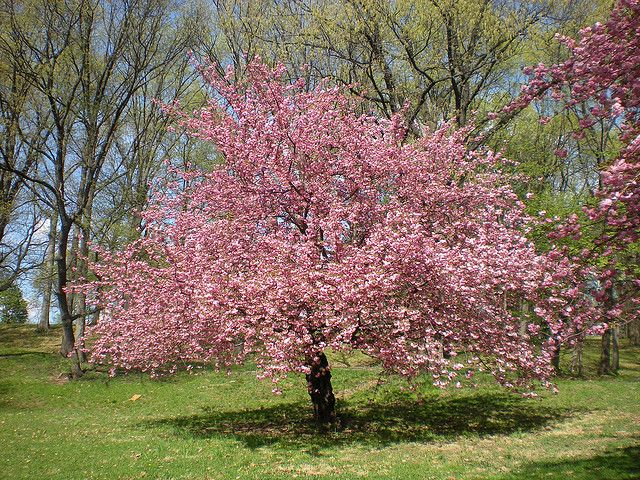 Pink Cherry Blossom Tree Blossom Trees Cherry Blossom Tree Belleville