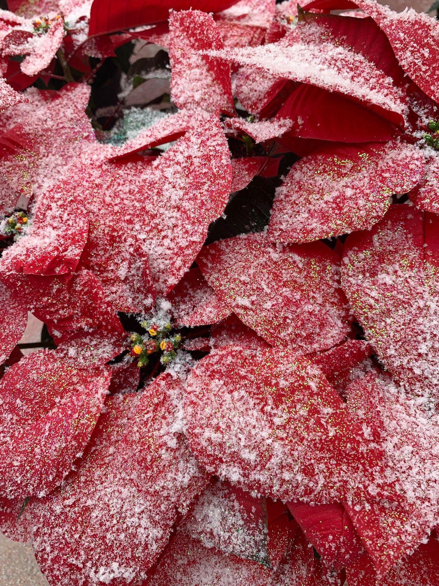 Fantasy Colors Poinsettias Red Poinsettia With Glue Snow
