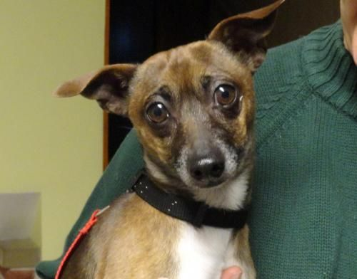 Adopt Scout Adopted On Chihuahua Terrier Mix Dogs Rescue Dogs