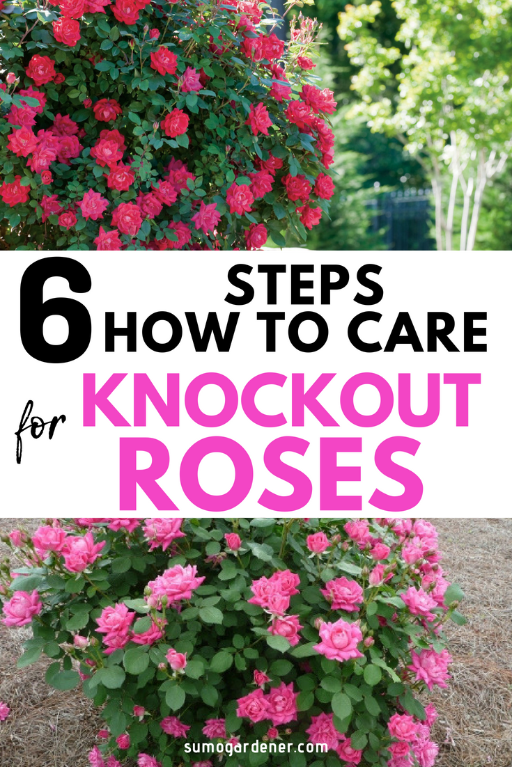 How To Grow and Care For Knockout Roses is part of Knockout roses, Rose garden design, Knockout roses care, Rose care, Garden care, Pruning knockout roses - Knockout Roses are hardy and durable  One of the easiest rose trees to grow  Learn how to grow and care for knockout roses correctly with pruning, fertilizer, mulch and winter care