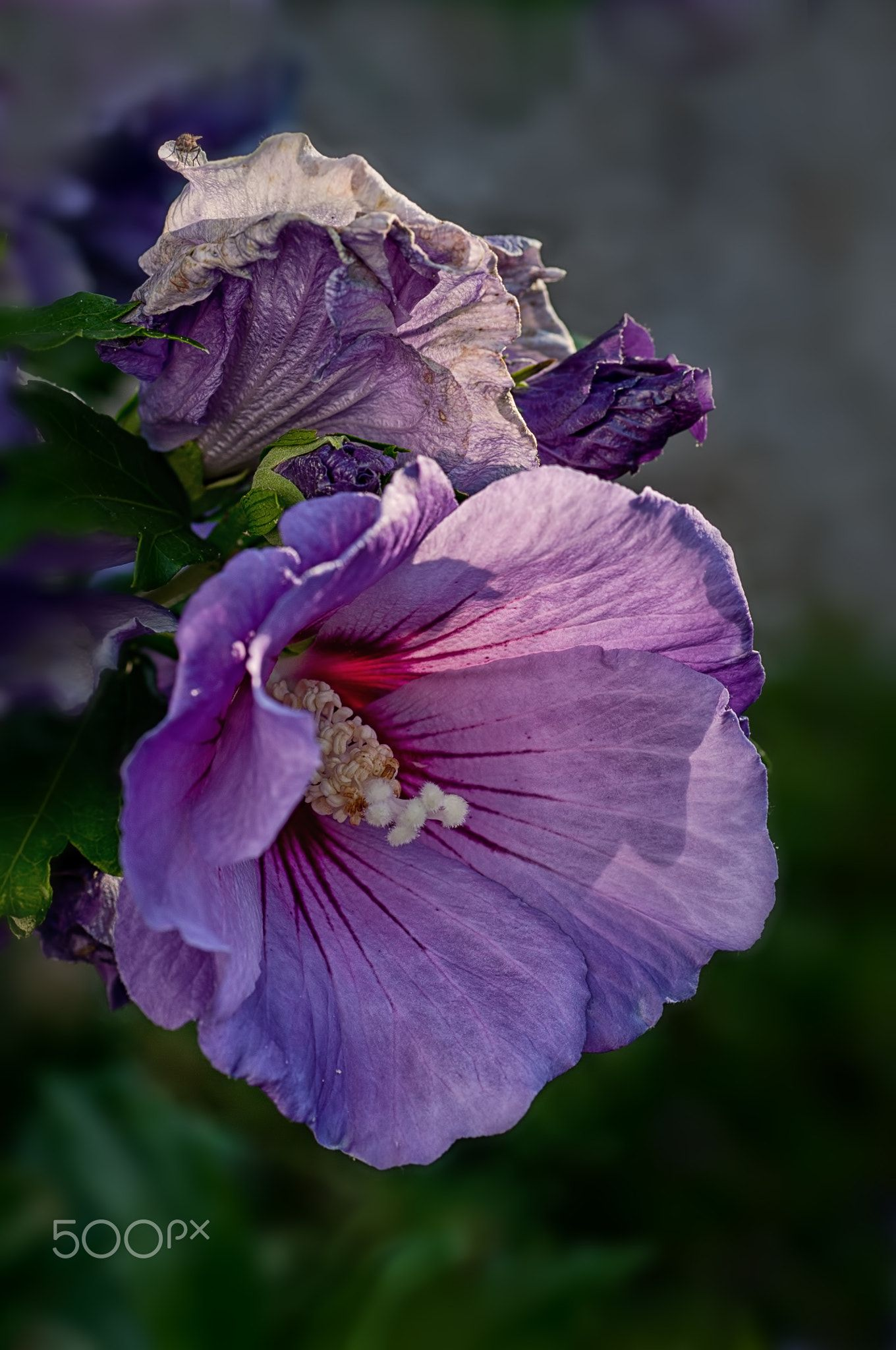 Now And Then Fading Flowers Are Just As Interesting As Fresh Blooms Different Colours And Textures My Blue Bird Hibiscus Hibiscus Love Flowers Flowers
