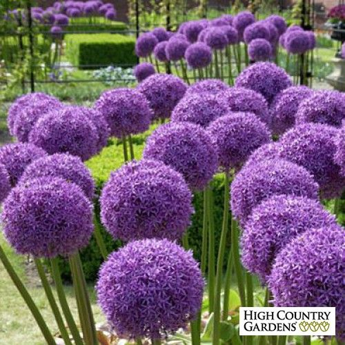 Globemaster Allium Bulb Flowers Allium Flowers Low Water Plants