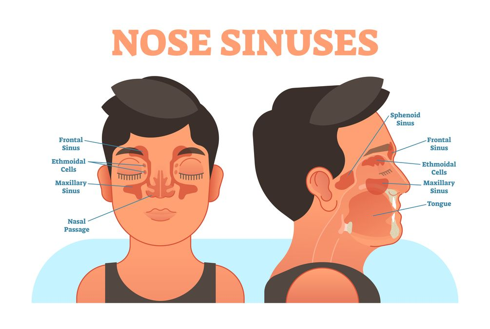 Nose sinuses, anatomical cross section, vector illustration