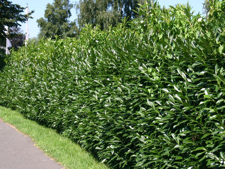 Kirschlorbeer Lorbeerkirsche Caucasica Prunus Laurocerasus