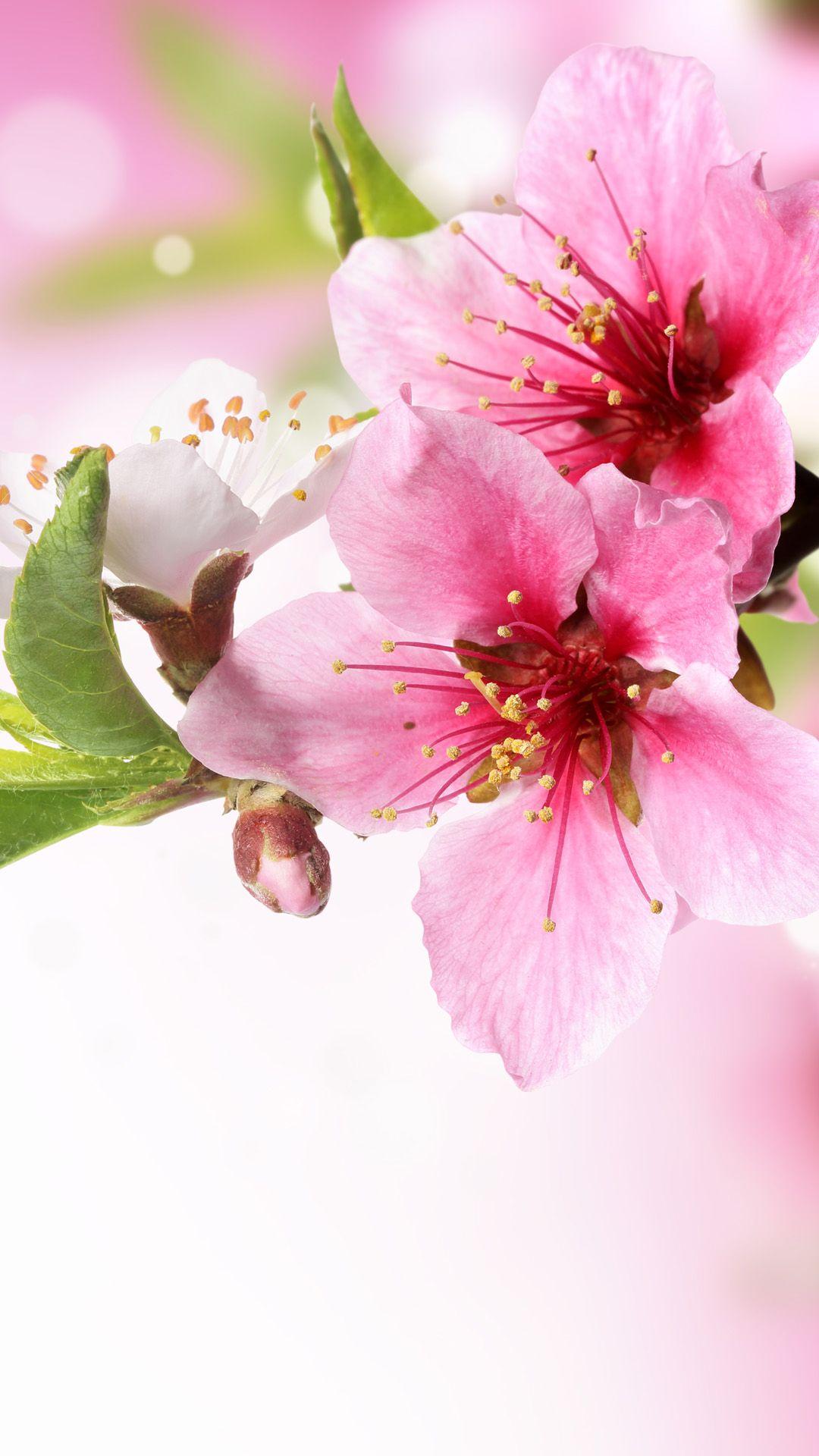 Spring Plum Blossom Branch Macro iPhone 6 wallpaper