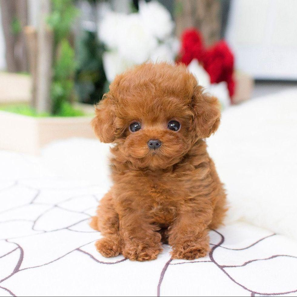 Realistic Teddy Dog Lucky In 2020 Teddy Dog Red Poodles Teacup Poodles For Sale