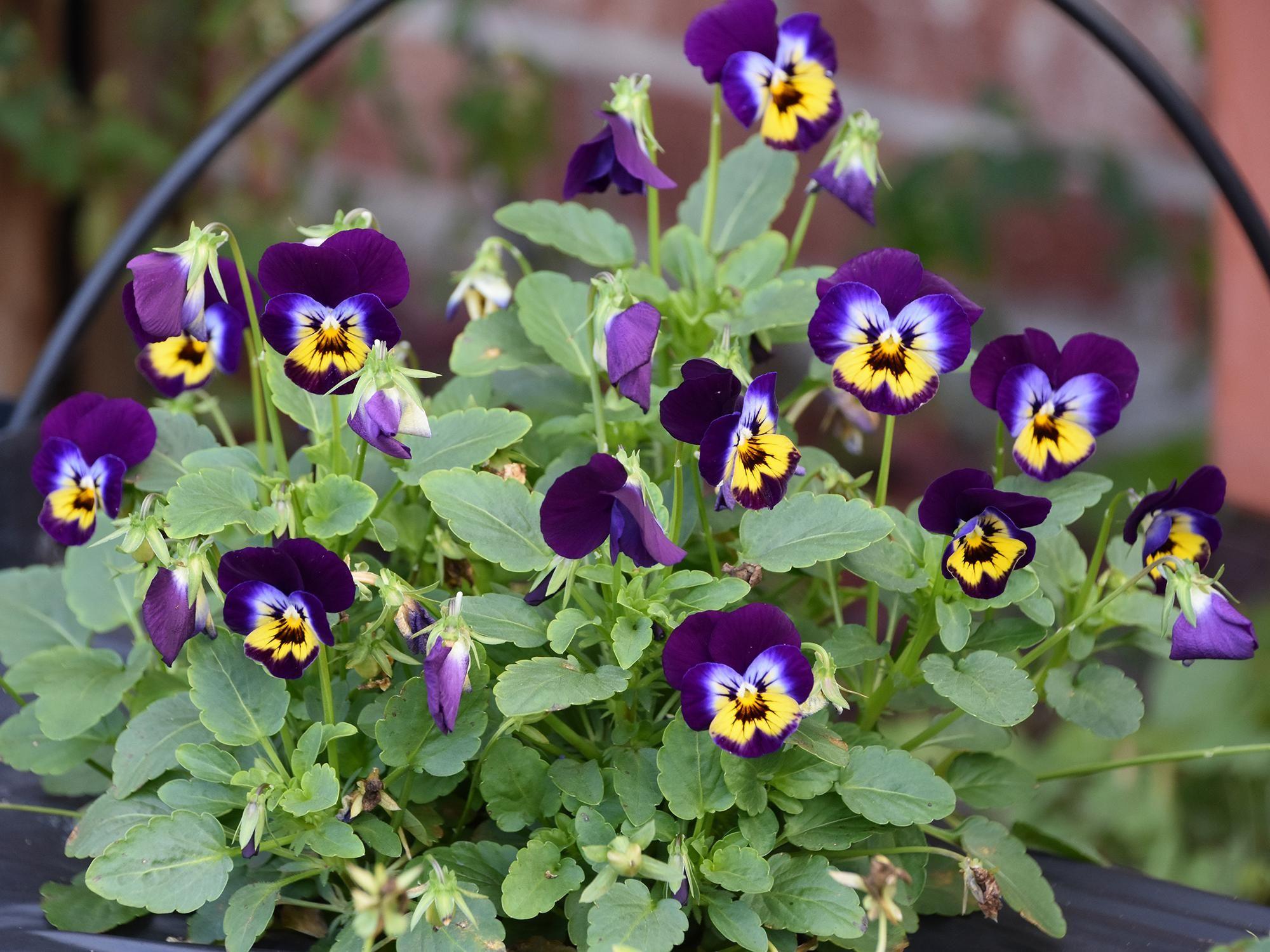 Sorbet Violas Are Big Winter Performers Viola Flower Flower Bed Plants Violas