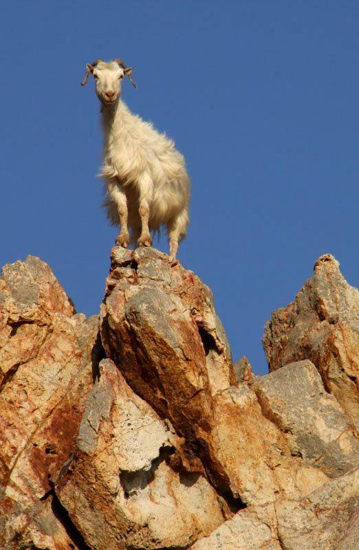 Solo Goat.. Patmos Island, Greece