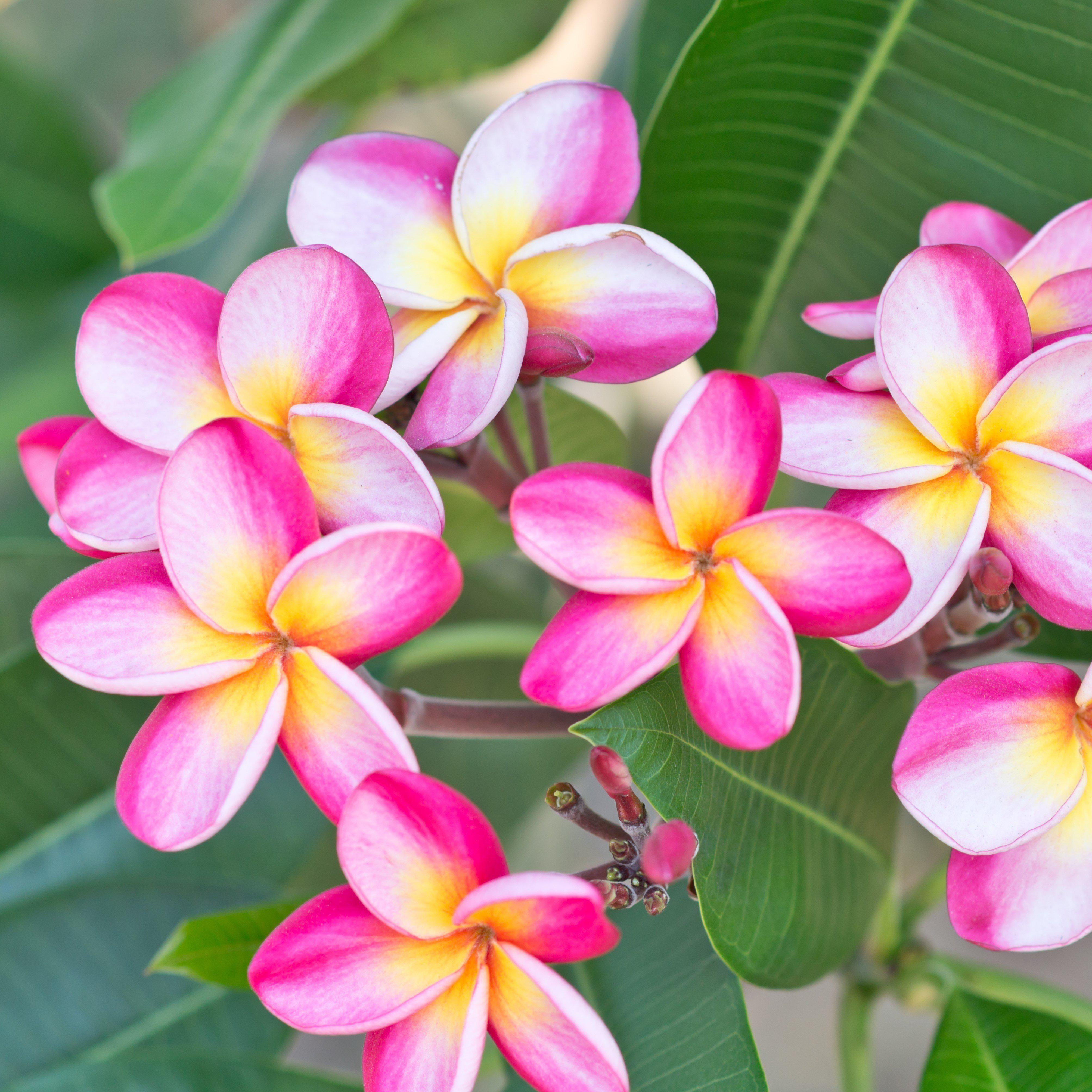 Allium Ampeloprasum Flower Pot Design Plumeria Tree Plumeria Flowers