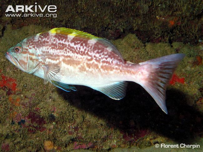 Side view of a yellowmouth grouper | Grouper, Alien ship ... Yellowmouth Grouper Photos