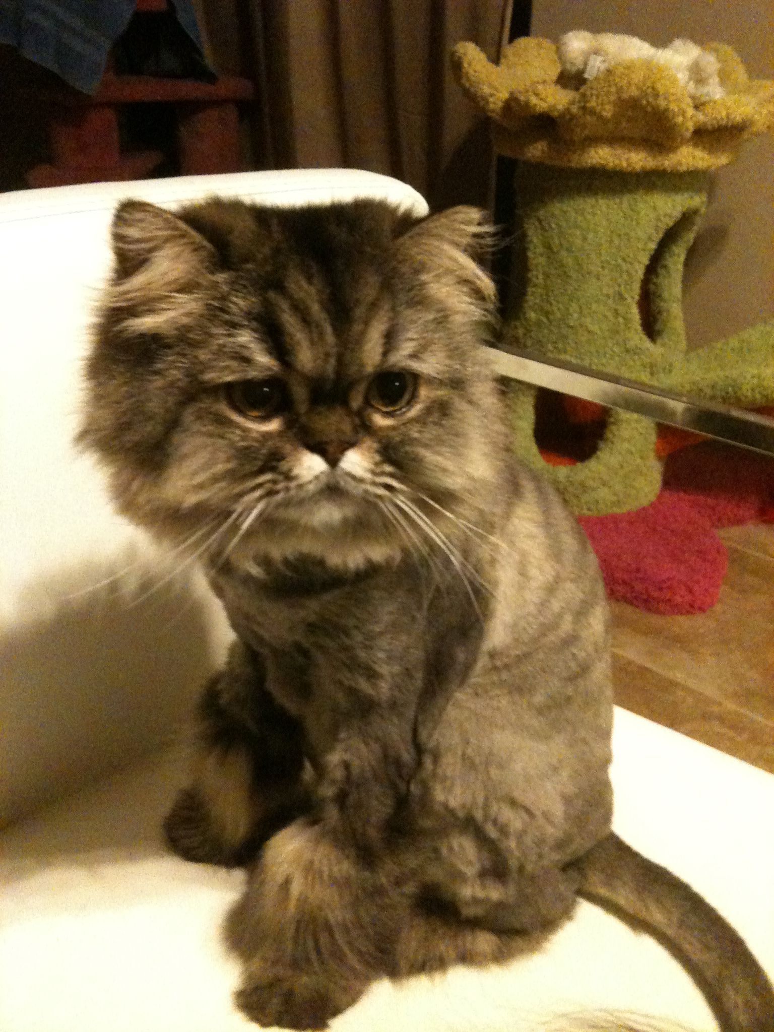 Persian cat Chocho, Lion cut Cats & stuff Pinterest
