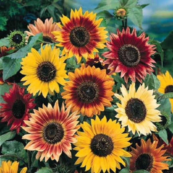 Autumn Beauty sunflower seeds - gold, yellow, rusty red, burgundy, and bi colors.  Classic sunflower on 6-7 foot plants.