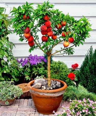 The Best Dwarf Fruit Trees To Grow In Pots Fruit Gardening Fruit Trees In Containers Dwarf Fruit Trees Potted Fruit Trees