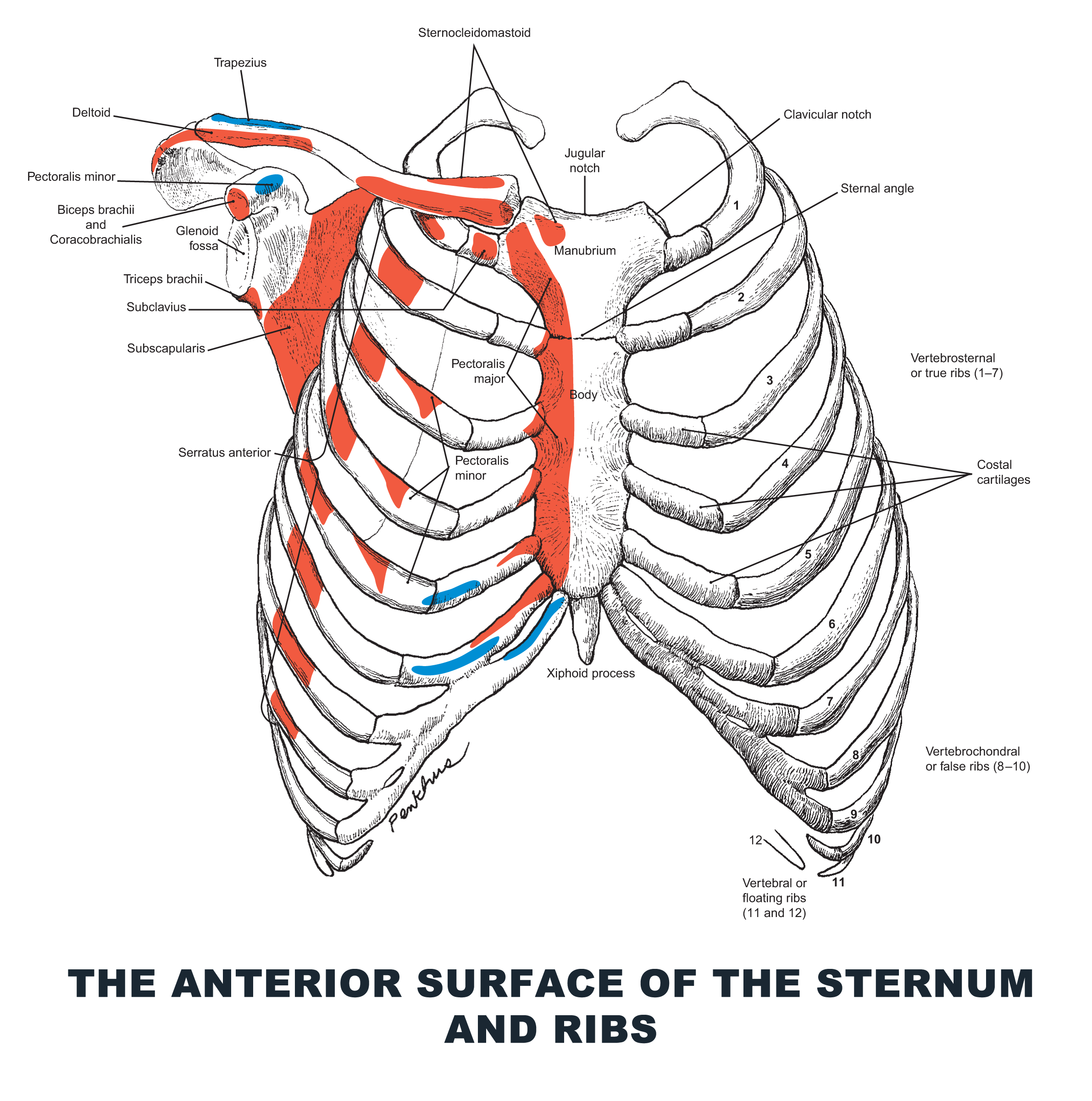 The Anterior Surface of the Sternum and Ribs - #anatomy images ...