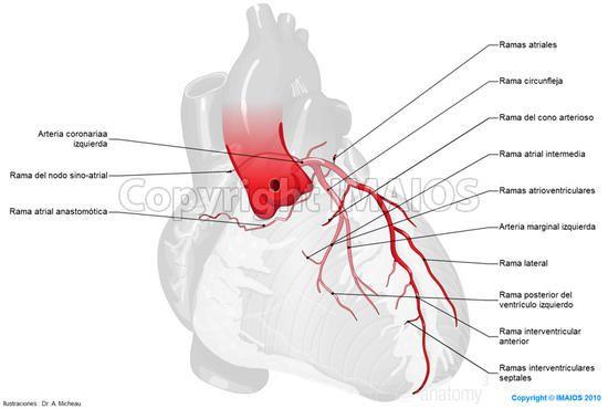 5 Major Coronary Arteries   arteries of heart    diagram