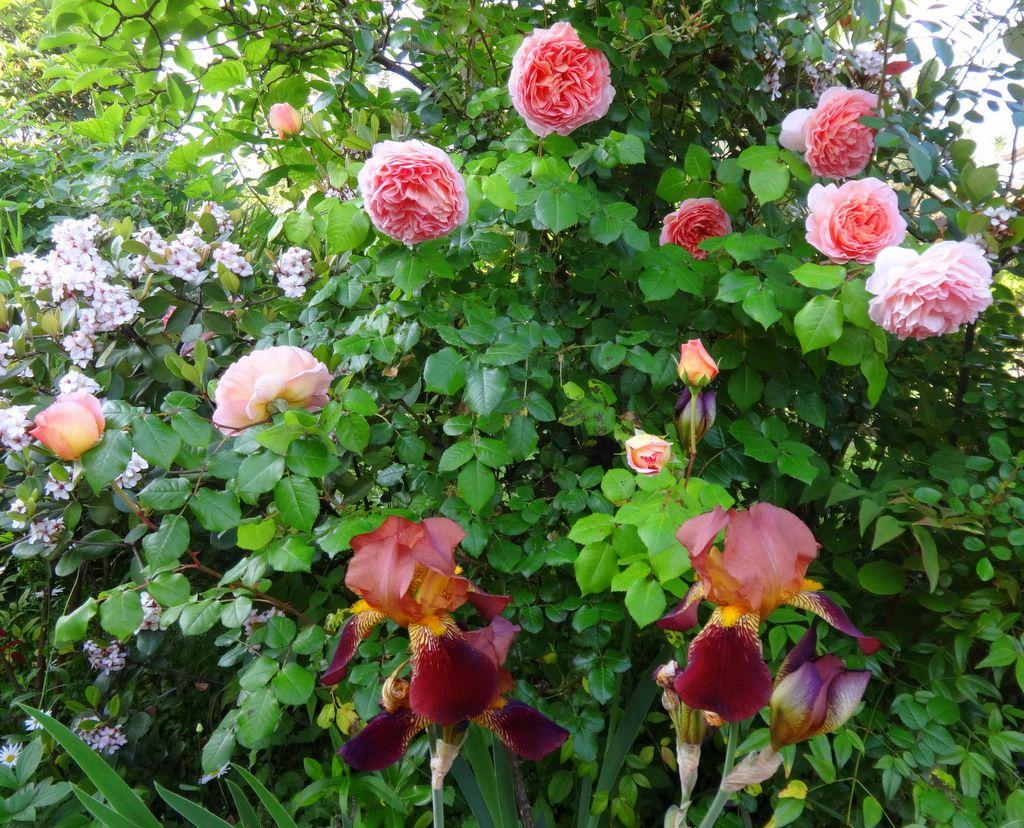 Rosa Inglese Abraham Derby Di David Austin....una Delle Più Belle Rose