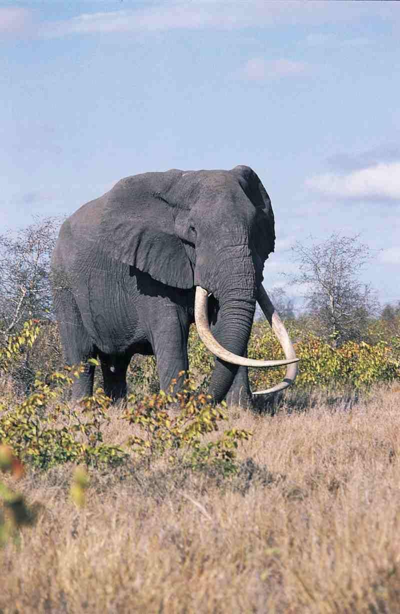 Elephant Deur Stunning Wildlife On South Africa Elephant Kruger National