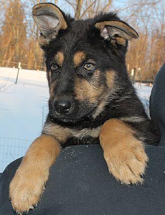 German Shepherd Pups Pet Dog Puppies For Sale In Bennington Vt