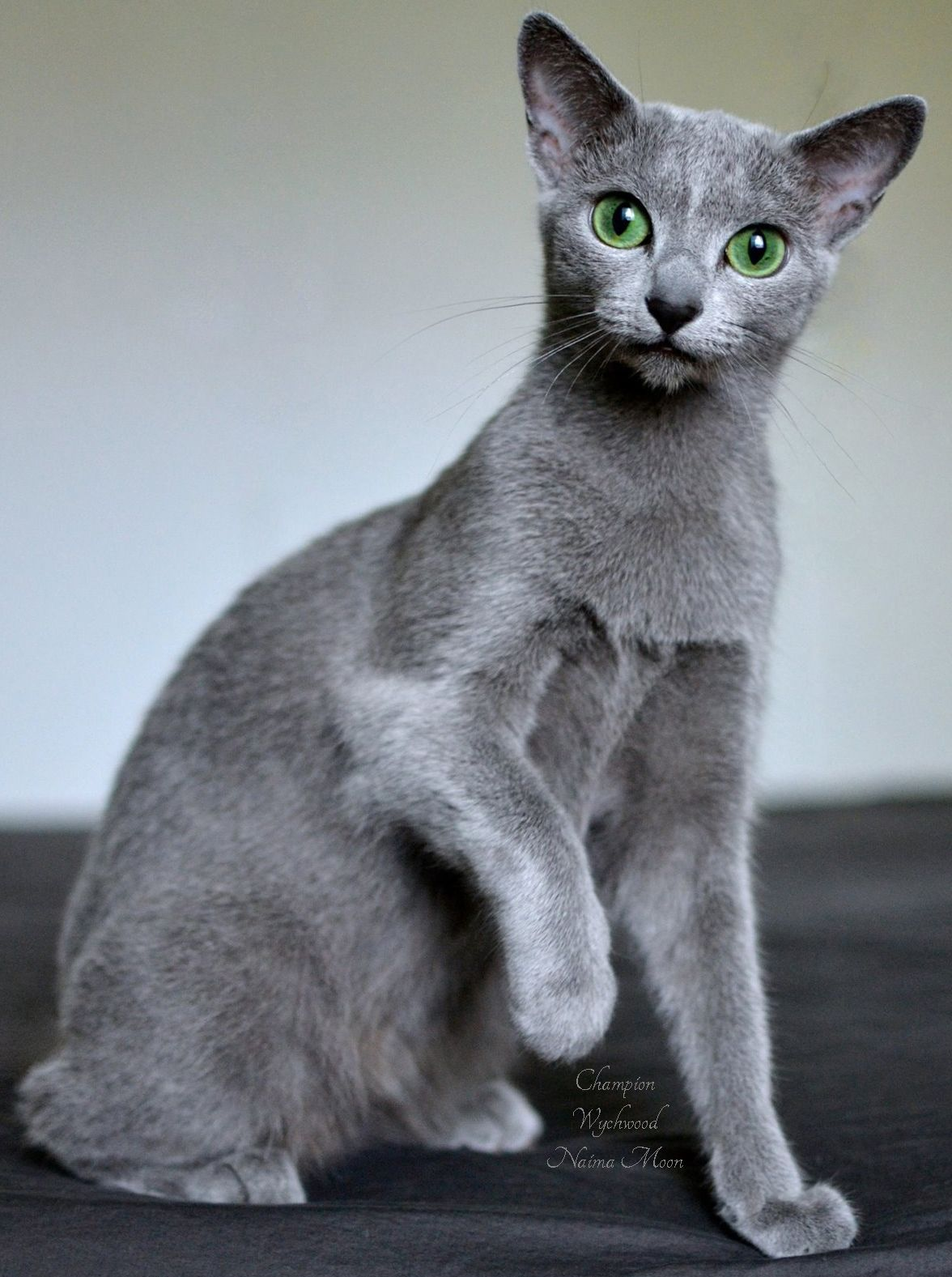 Wychwood Russian Blue cat Naima Moon Our beautiful princess with