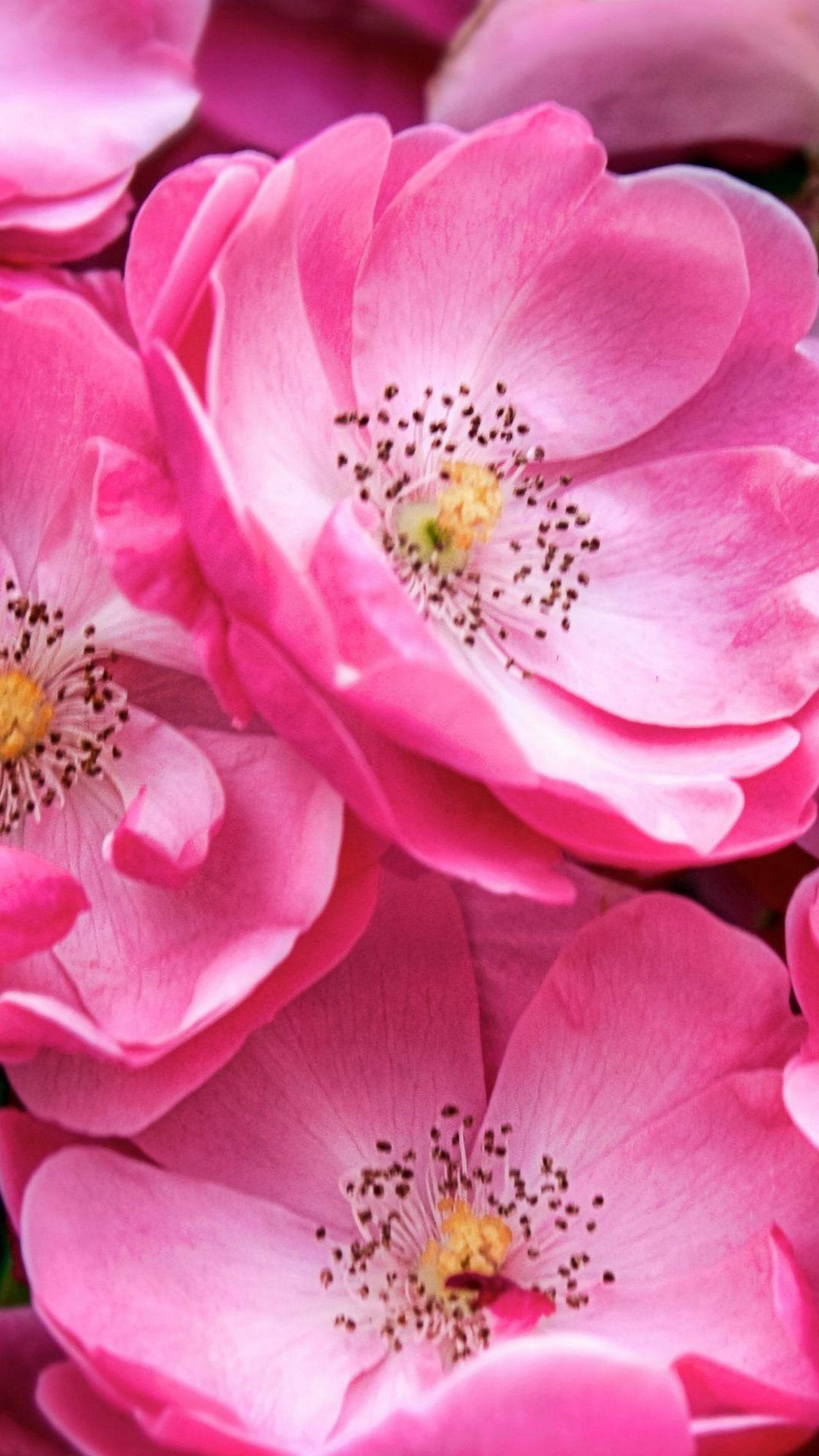 Beautiful Chineseasia Pink Flowers Plum Blossoms Lotus Iphone