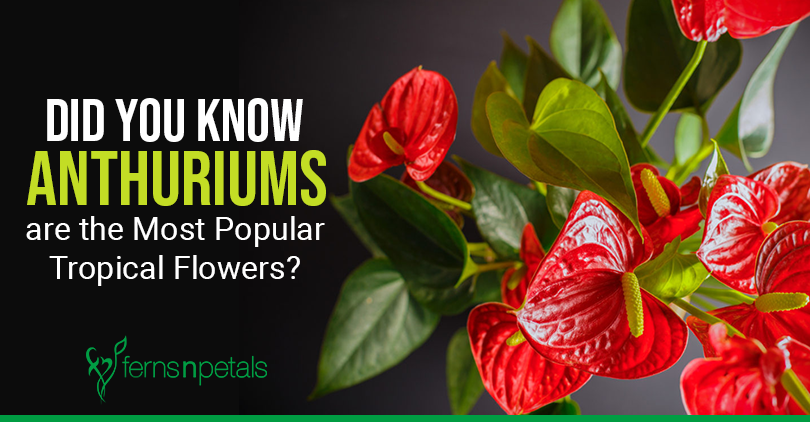 Did You Know Anthuriums Are The Most Popular Tropical Flowers Ferns N Petals Tropical Flowers Anthurium Popular Flowers