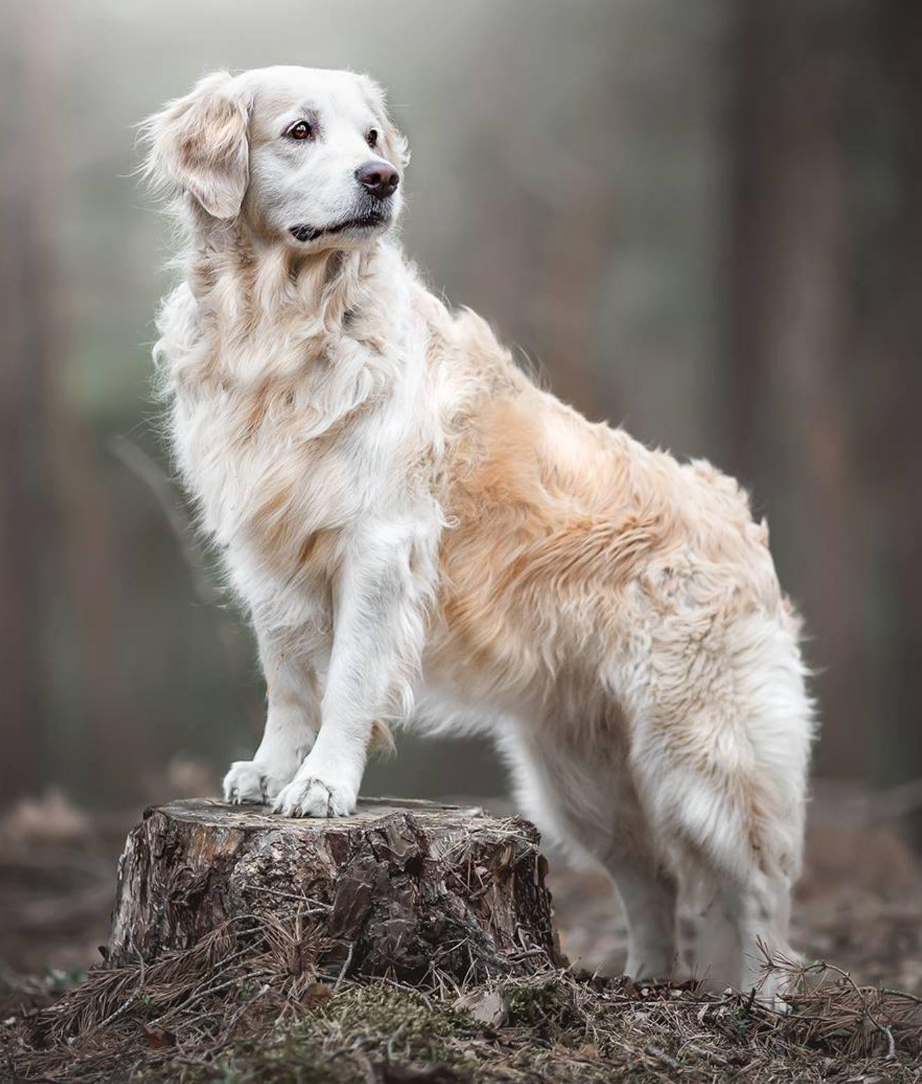 English Creme Golden Retriever Older Dog Photography