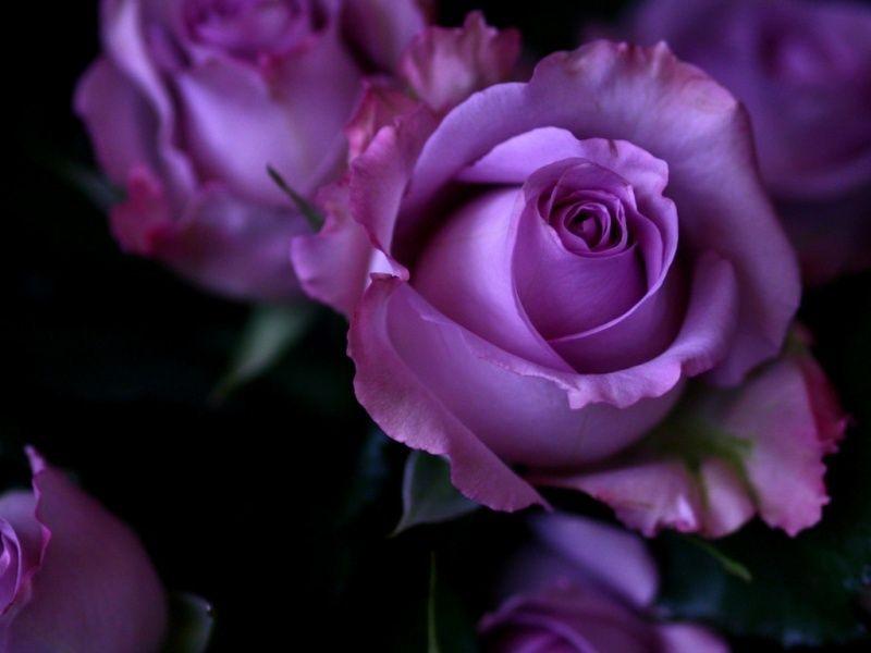 Hermosas Rosas | Rosas Moradas | Pinterest