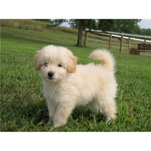 I Want This Toy Goldendoodle Toy Goldendoodle Goldendoodle