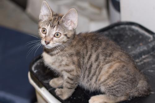 Adopt Rupert On Short Hair Cats Cats Adoption
