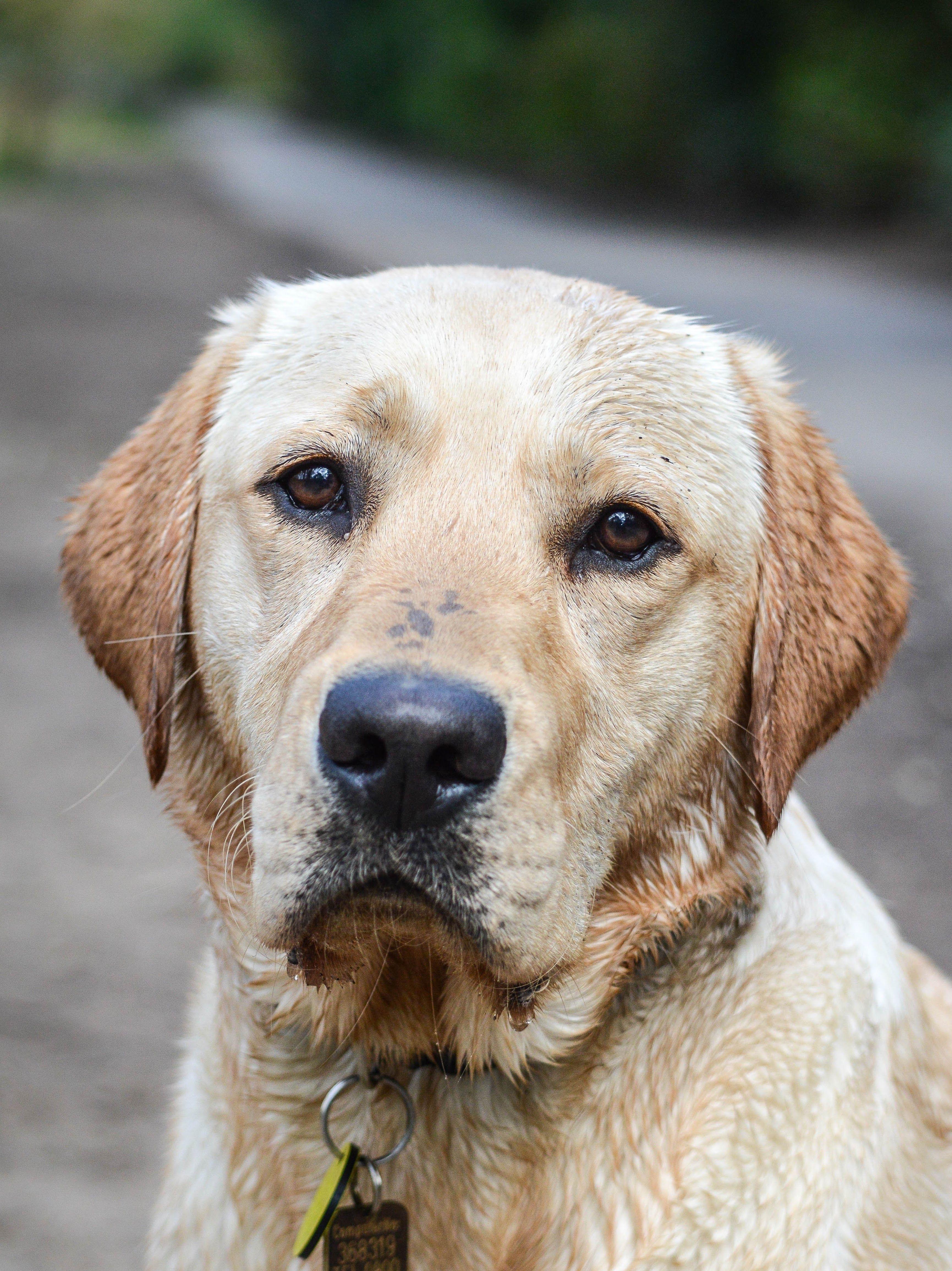 Pawtrait Pals Pet Photography Yellow Labrador Dog Portrait Dog Photograph Dogs Labrador Dog