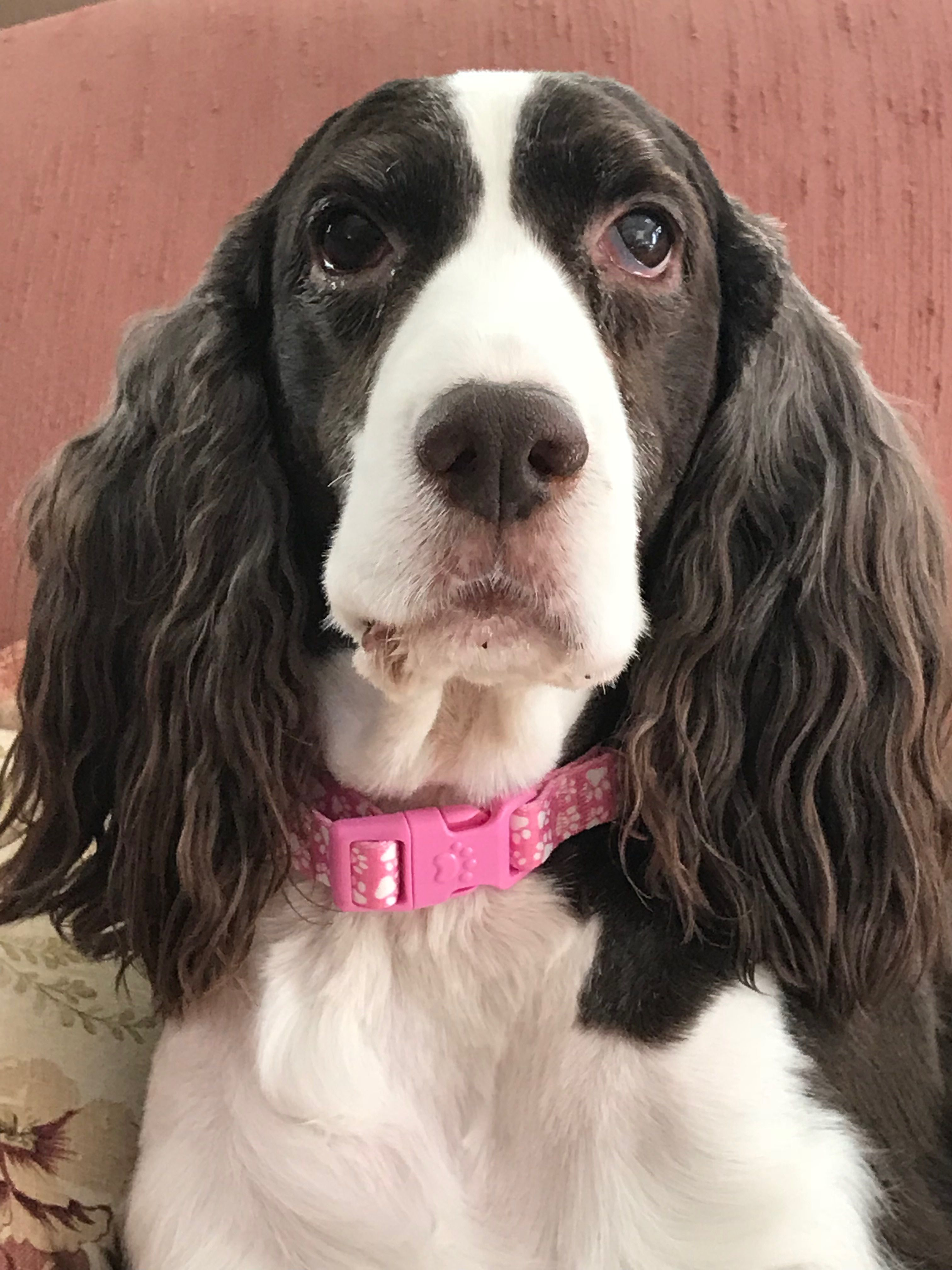 Pin By Susiemac On English Springer Spaniels English Toy Spaniel Spaniel Breeds Springer Spaniel