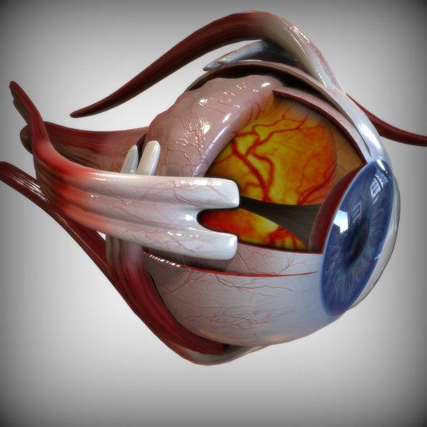 Human Eye In Detail 3d Anatomy Pinterest Eye Anatomy Human