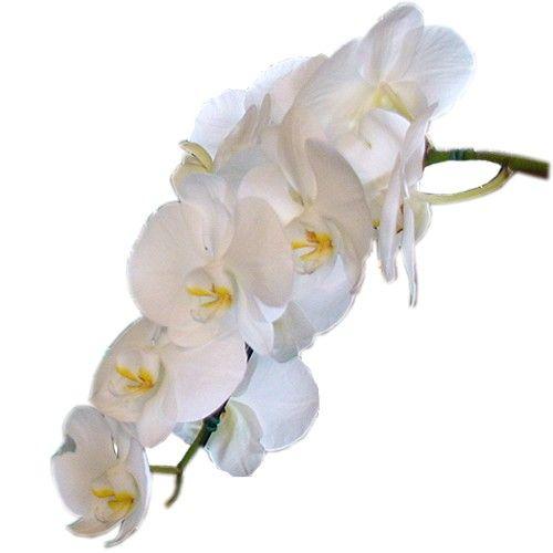 orquidea phal. branca haste