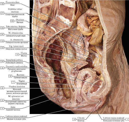 женские гениталии. фото