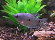 Live Beginner Freshwater Fish 2 Blue Three Spot Gourami Hardy Community Fish Tropical Fish Aquarium Aquarium Fish