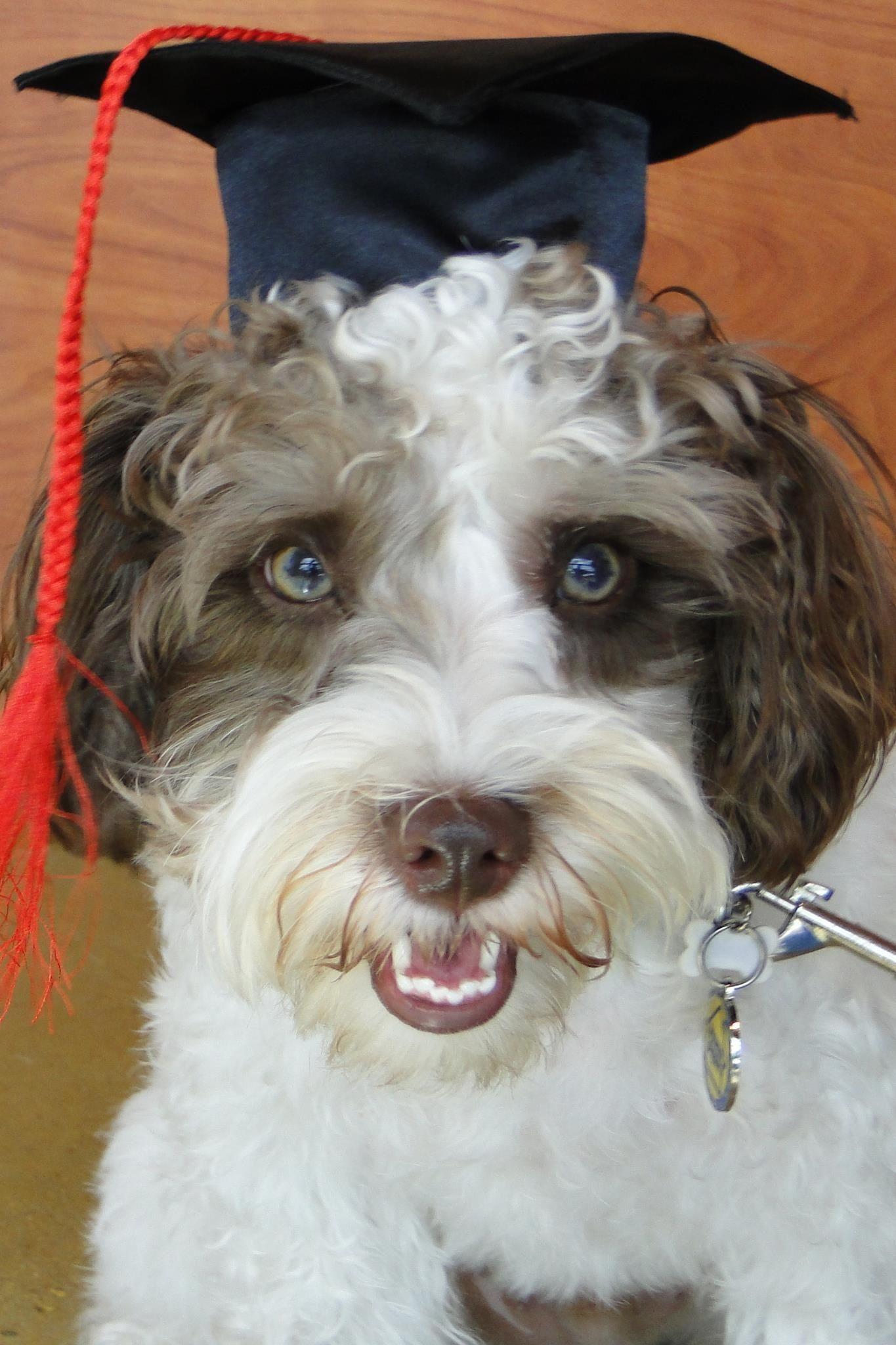 Sawyer, the graduate! Professional dog training, Dog