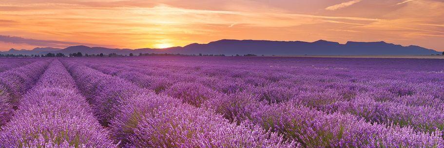 Car Rental France Lavender fields of Provence Lavender