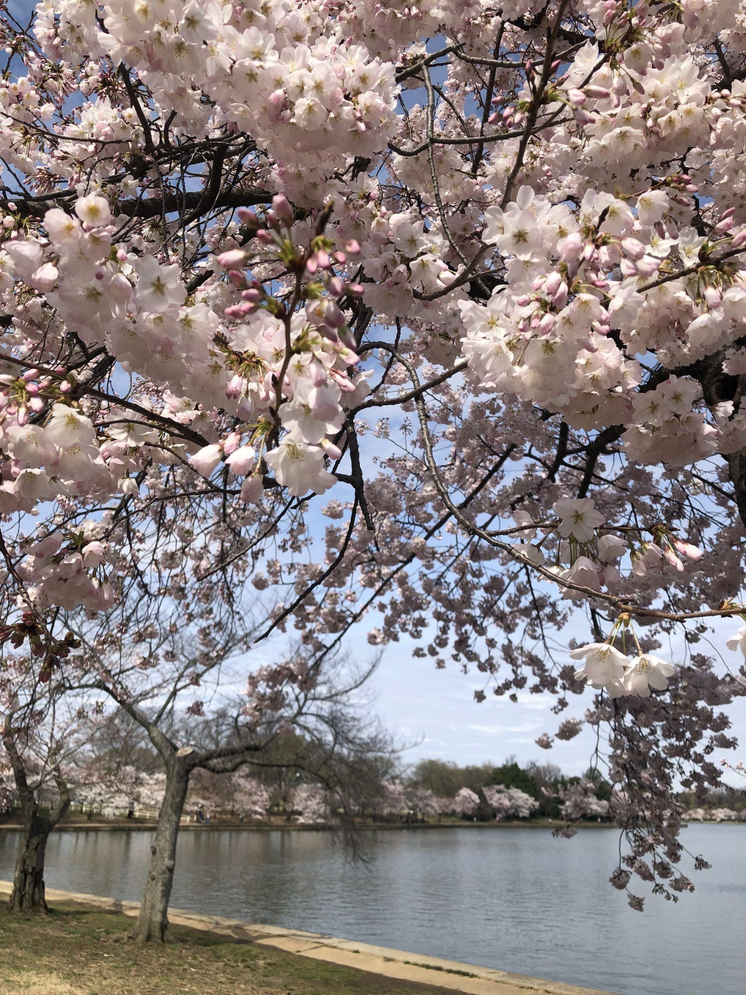Watch The Cherry Blossoms In Real Time At The National Mall In D C On The Bloom Cam Cherry Blossom Blossom Trees Cherry Blossom Tree