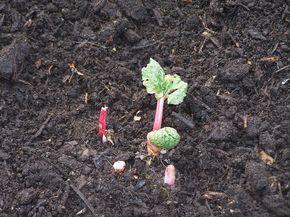 Planter de la rhubarbe dans une bassine en zinc   Comment planter