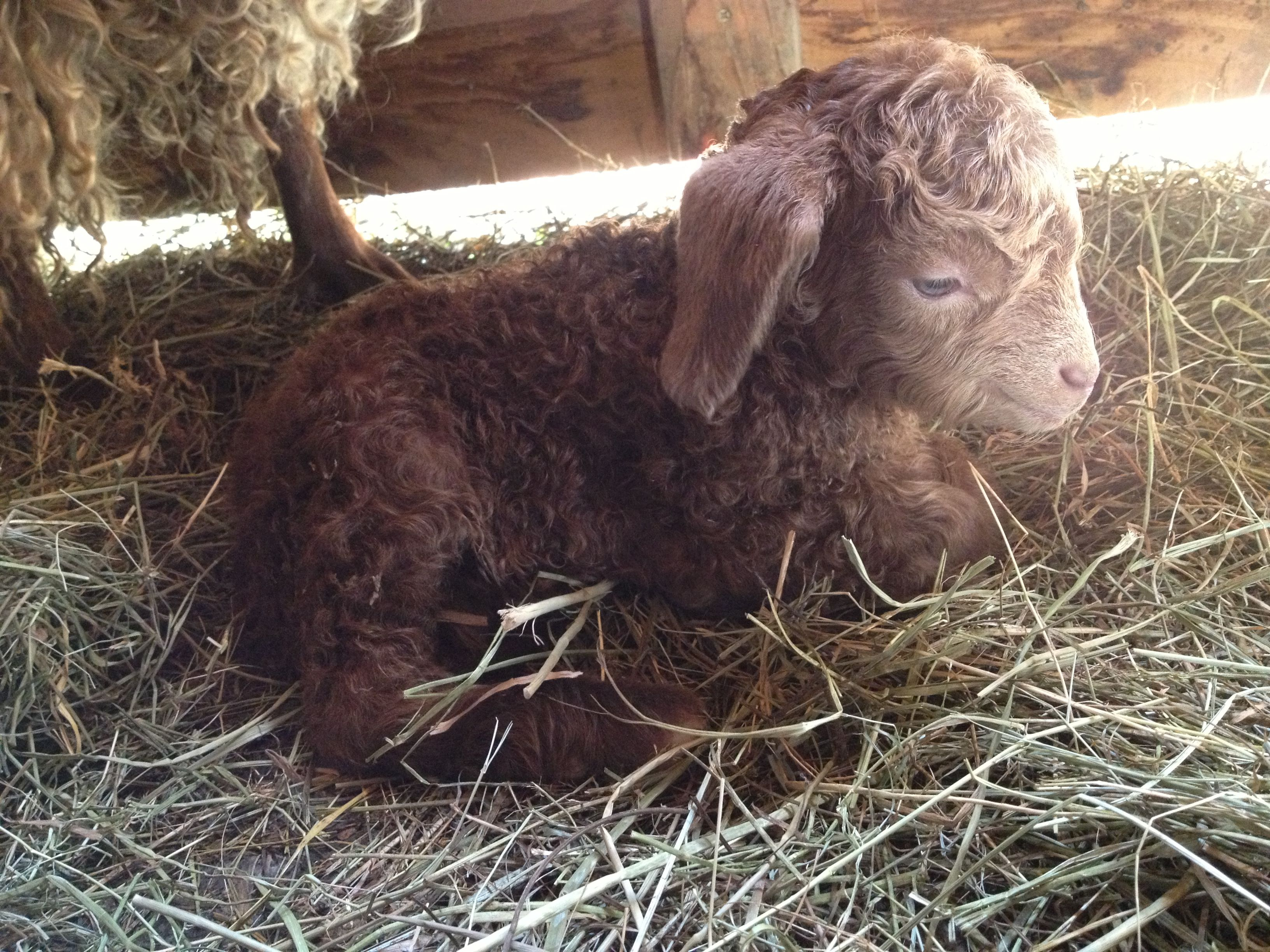 Just Hours Oldbaby Angora Goat