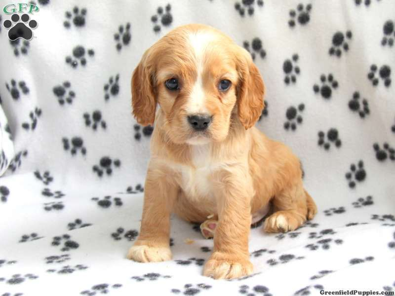 Jake Cockalier Puppy For Sale From New Holland Pa Puppies Pinterest Lap Dogs Family