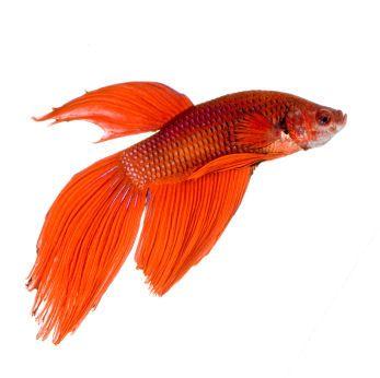 I Made A Swedish Betta Fish R Pics Betta Fish Betta Fish