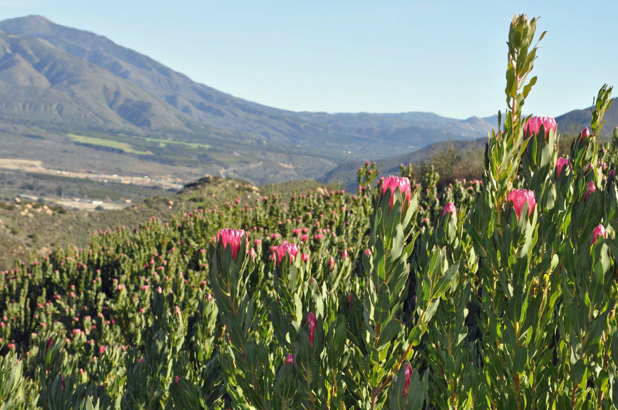 Protea Andrea Field Cagrown Protea Resendizbrothers Com Protea Plant Trees To Plant Protea Flower