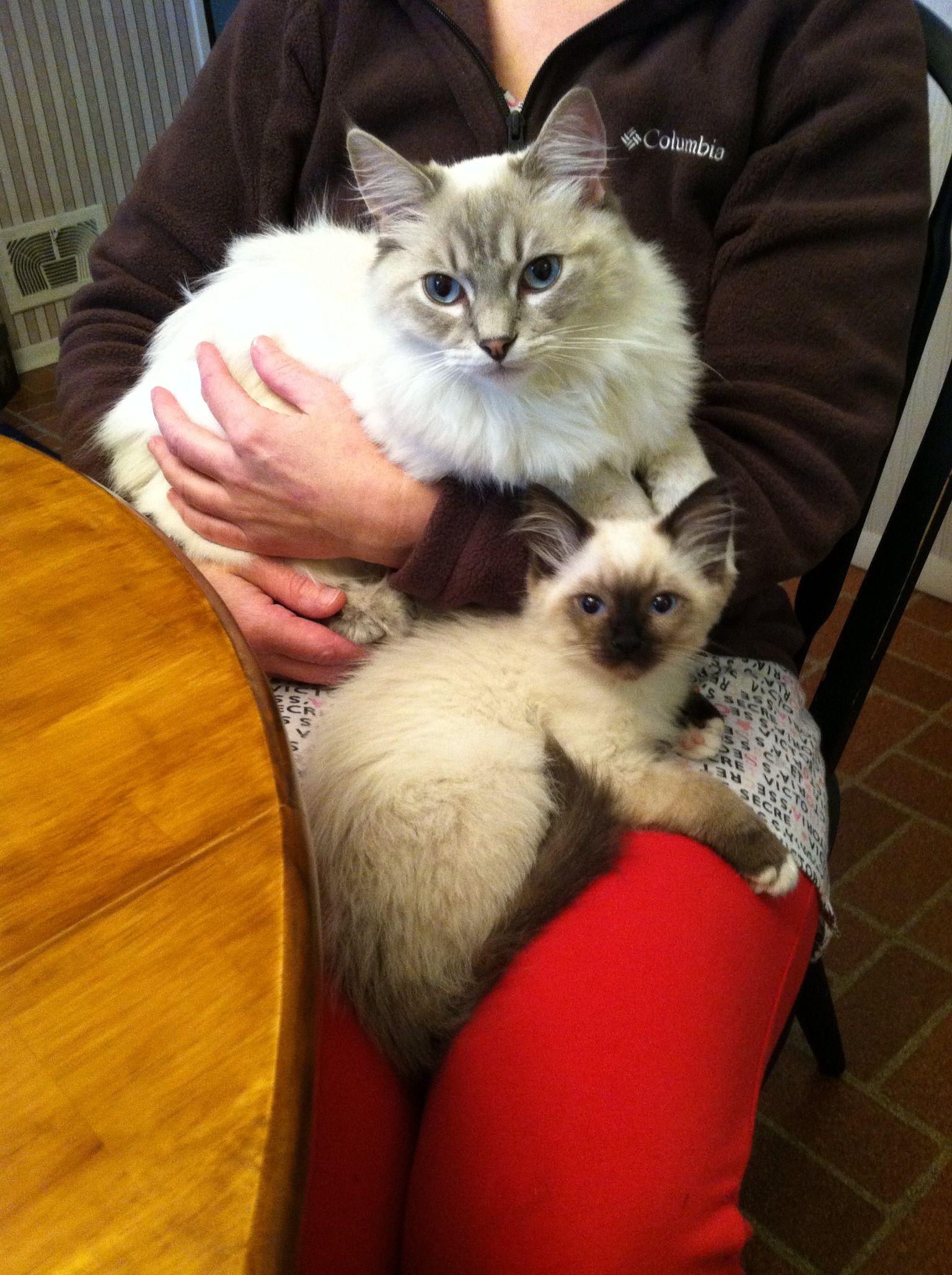 Riley 6 Month Blue Lynx Ragdoll And Chloe 12 Week Seal Mitted Ragdoll Ragdoll Cat Cute Cats Kittens
