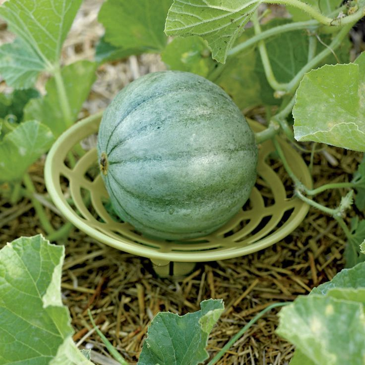 Small Year Round Veg Patch: Melon And Squash Garden Cradles (With Images)