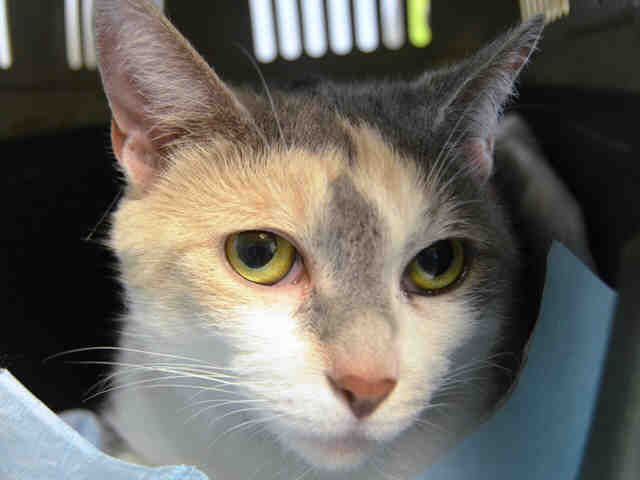 DIAMOND - A1112511 - - Brooklyn  ***TO BE DESTROYED 05/24/17*** A DIAMOND IN THE ROUGH!!  Sweet Diamond lived with her owner since kittenhood.  She cried in her carrier all the way to being dumped at the ACC for moving.  This little 6 yr old girl is gentle and affectionate and wants to be adopted where she can relax and be loved again.  PLEASE RESERVE THIS KITTY BY NOON!! -  Click for info & Current Status: http://nyccats.urgentpodr.org/diamond-a1112511/