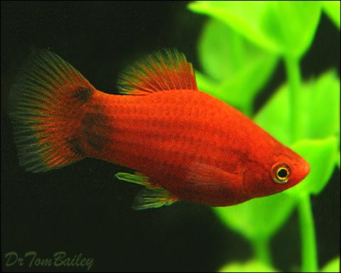 Young Male Red Mickey Mouse Platy For Sale Platy Fish Fish Tropical Fish